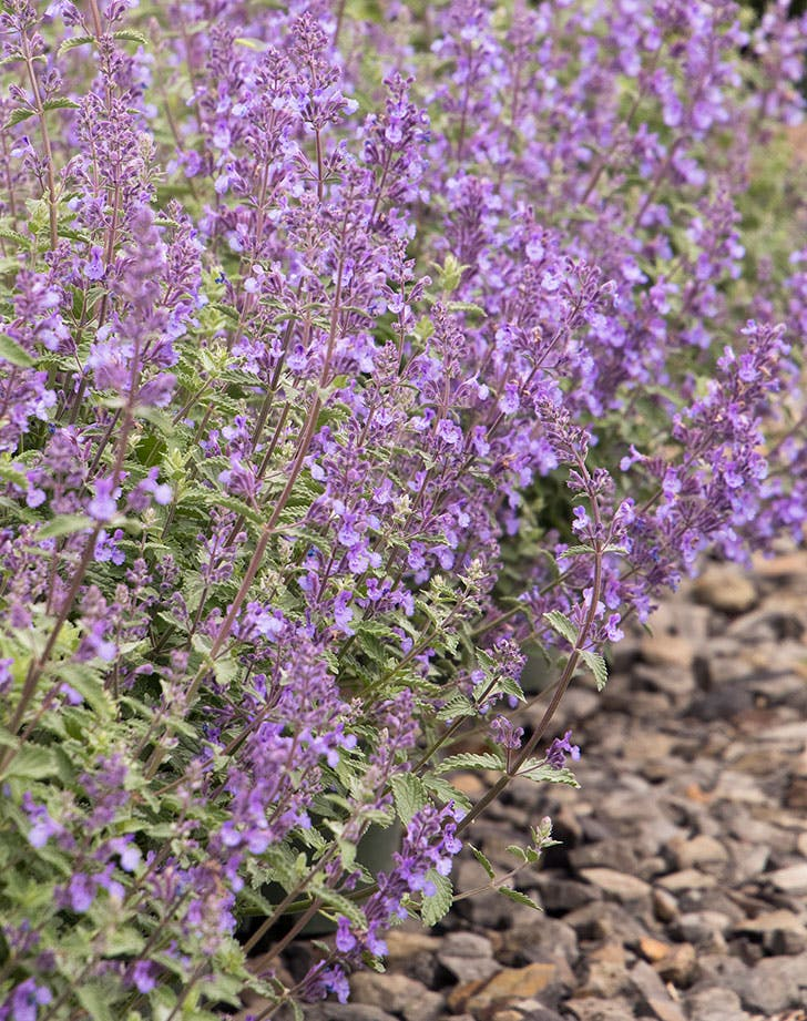 low catmint