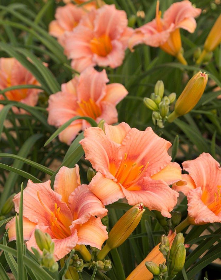 pink wing daylily