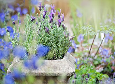 Lavender plant that repels bugs 400