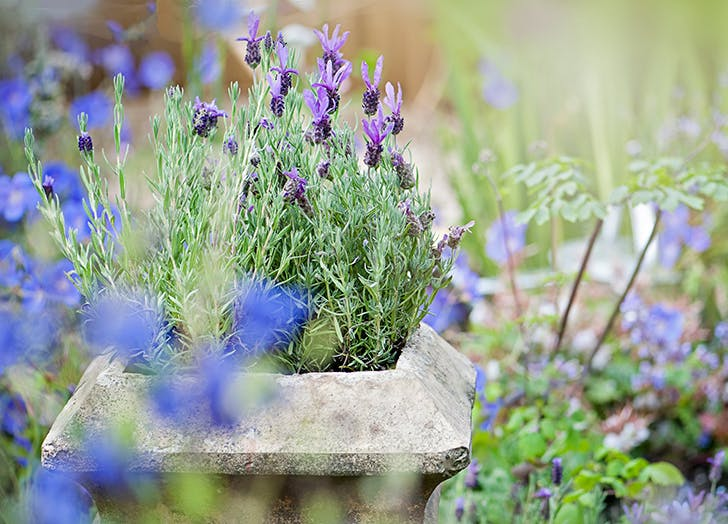 Lavender plant that repels bugs