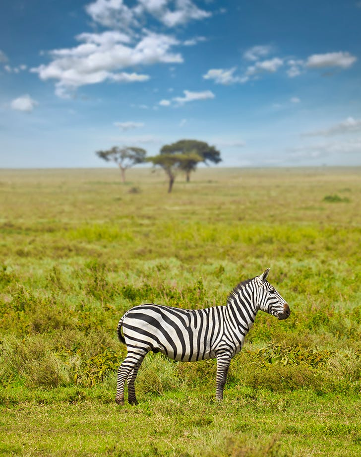 a zebra seen on an african safari