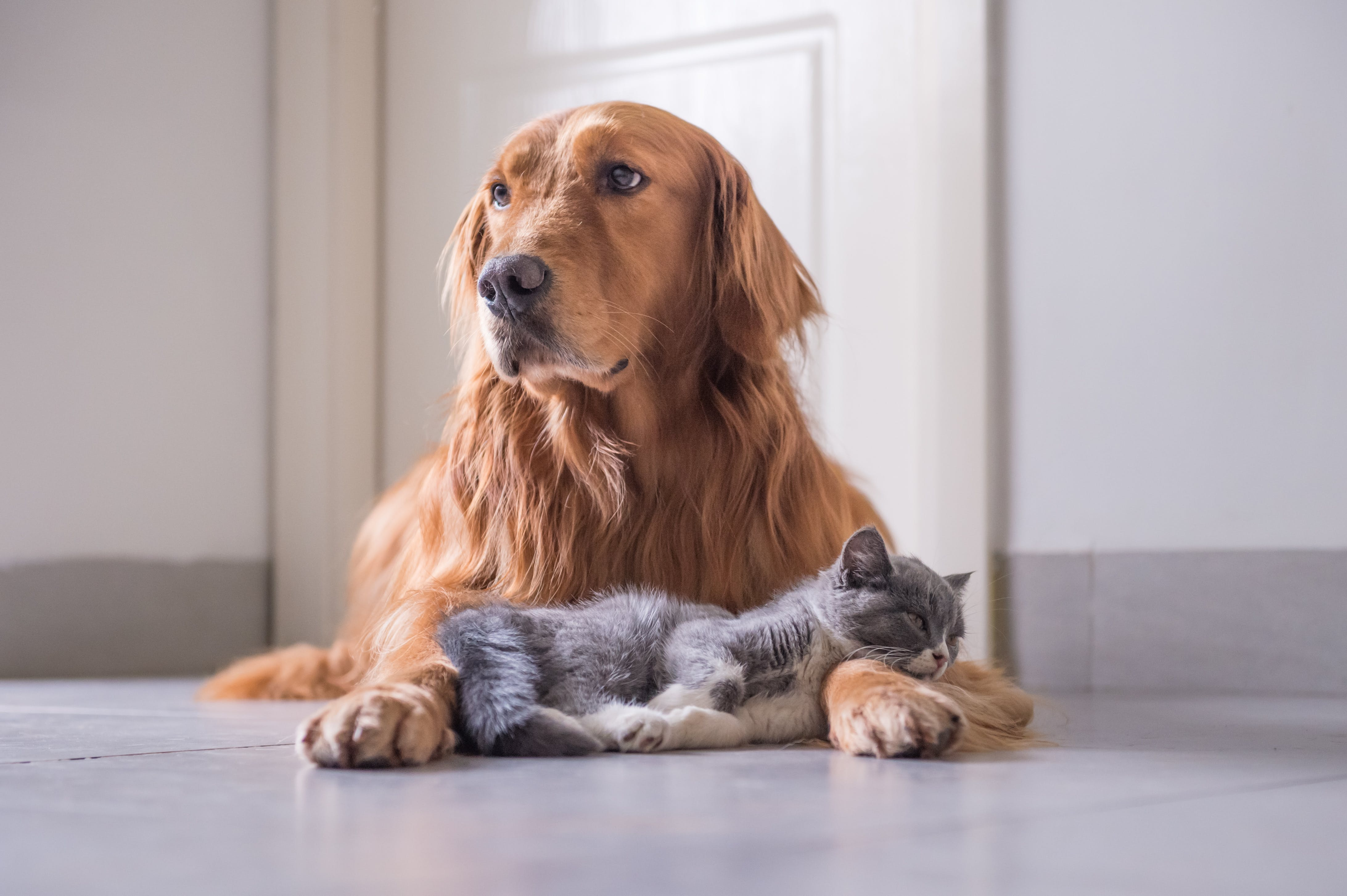 9 Dog Breeds That Get Along Purr-fectly with Cats