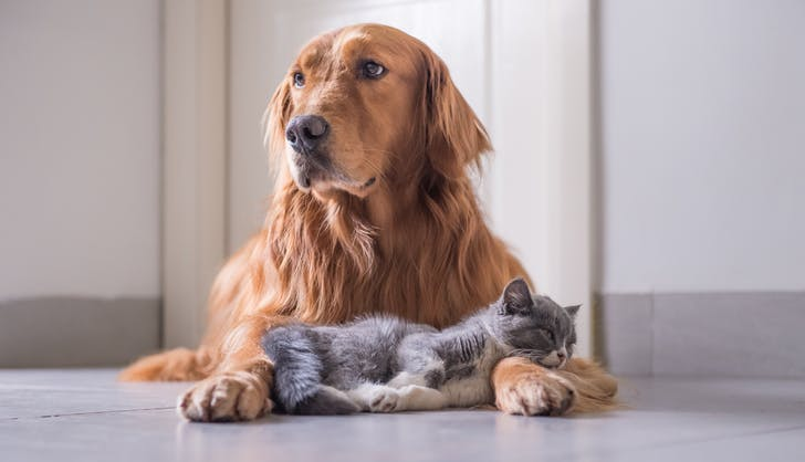 dog breeds that get along with cats Golden retriever