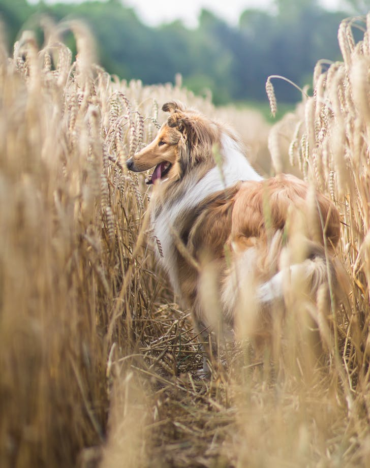 easiest dog breeds to train collie