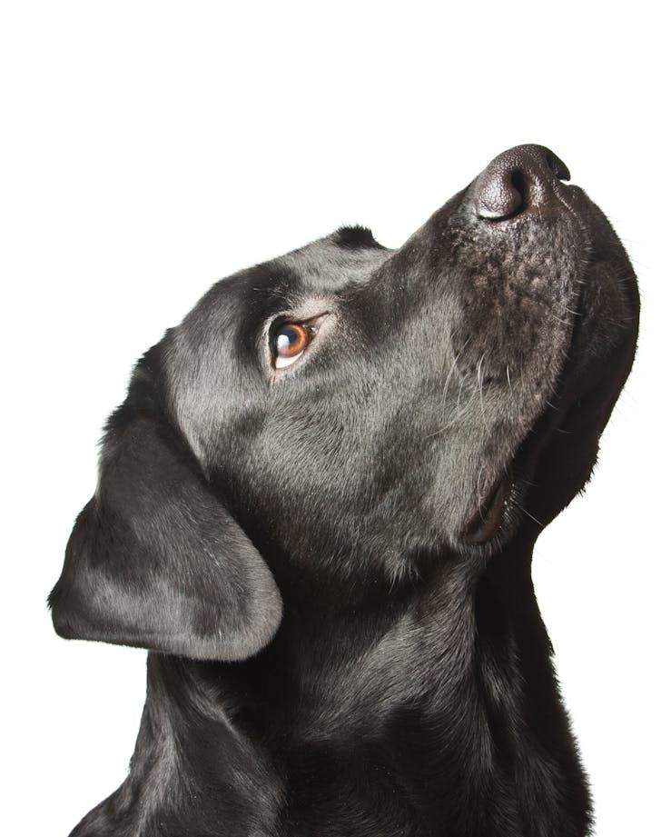 easiest dog breeds to train labrador retriever