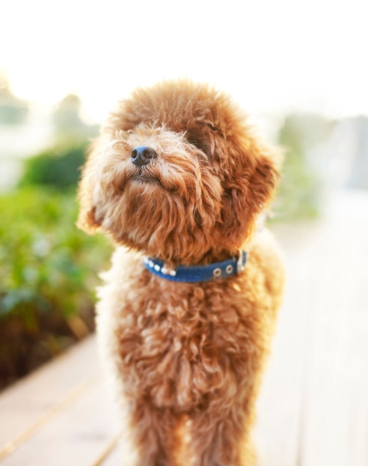 easiest dog breeds to train poodle