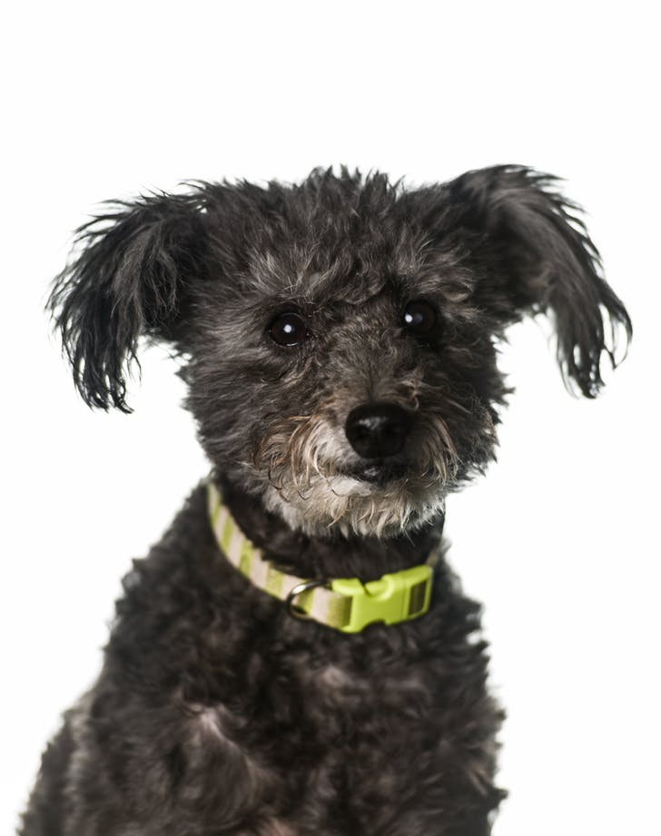 easiest dog breeds to train pumi