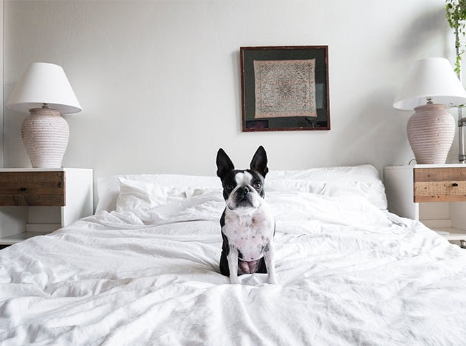 frenchie sitting in bed