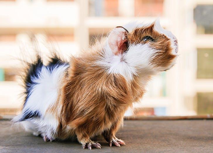 furry guinea pig cruelty free beauty