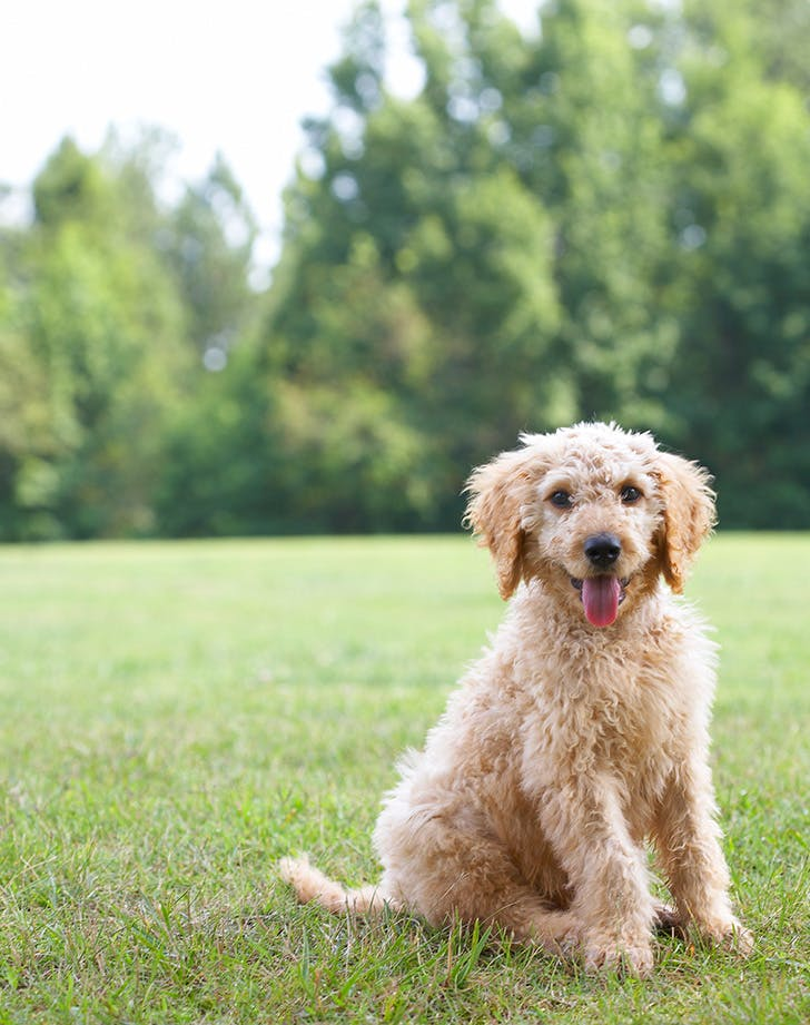 labradoodle dog for autism