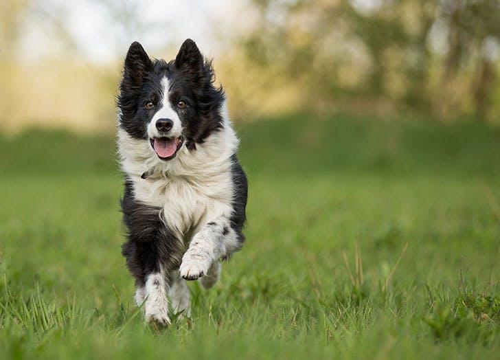 smartest dog breeds Border Collie