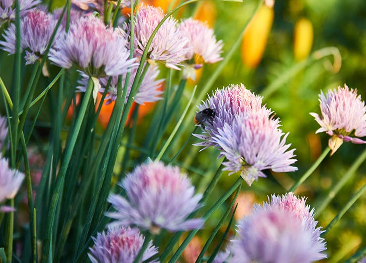 chives easy herb garden