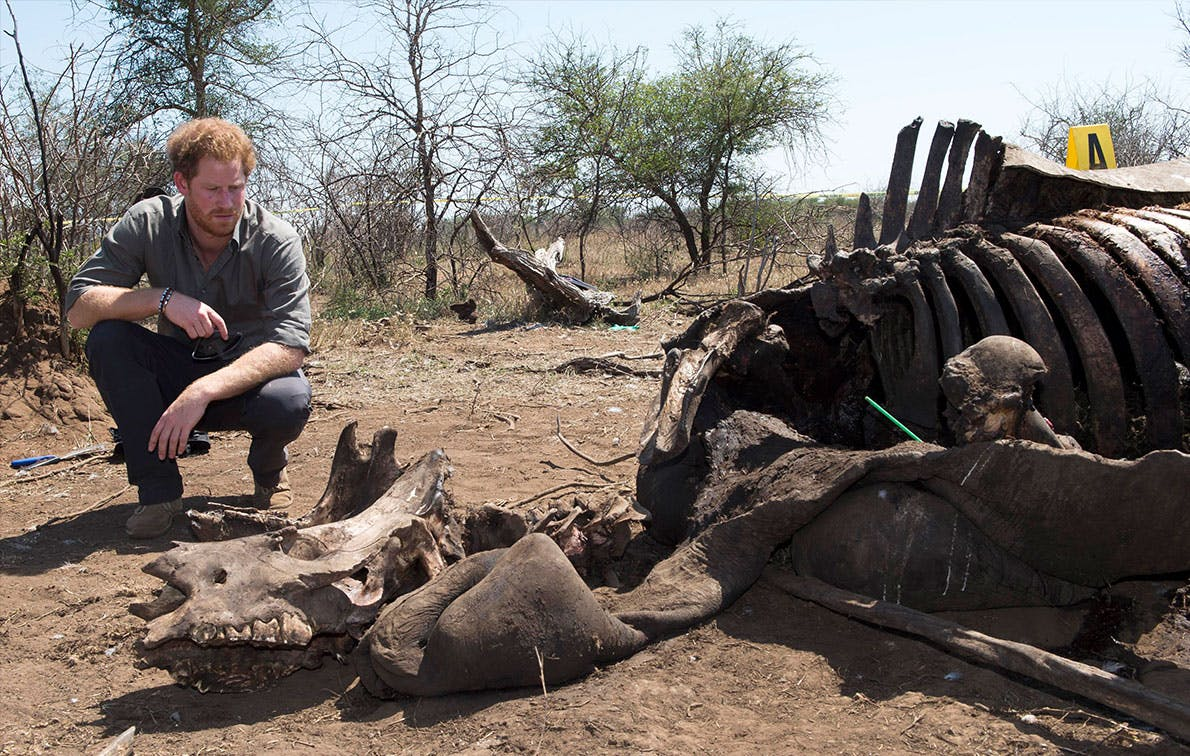 prince harry rhino carcass