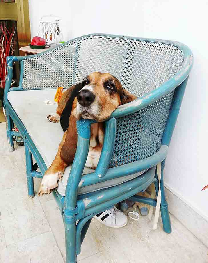 laziest dog breeds basset hound