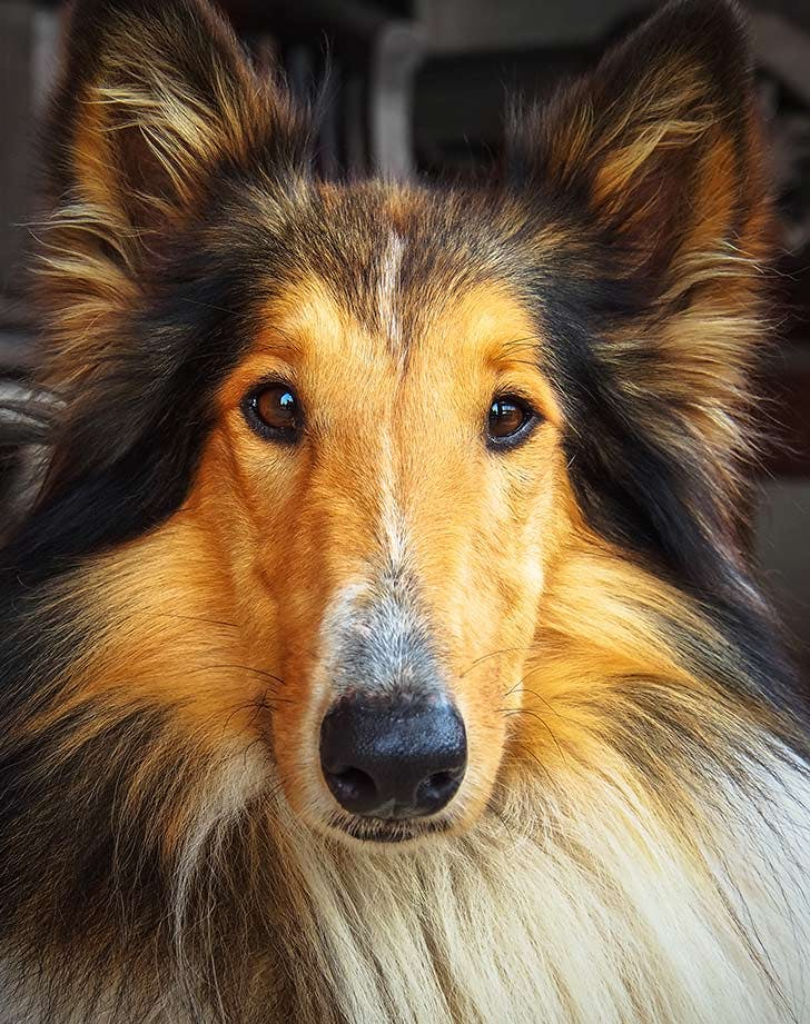 best medium sized dogs for families collie