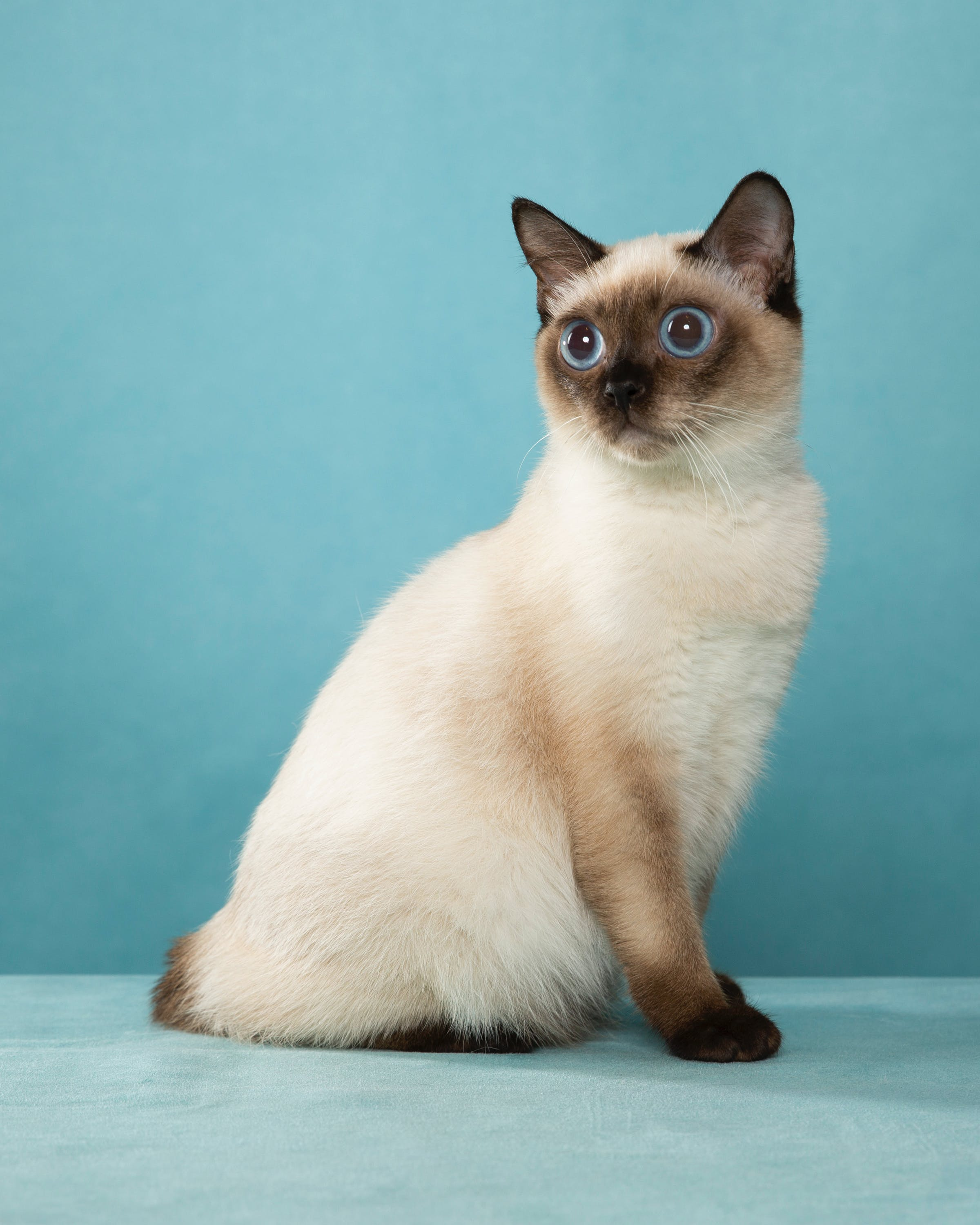 9 Small Cat Breeds That Don T Grow Over 10 Pounds Purewow