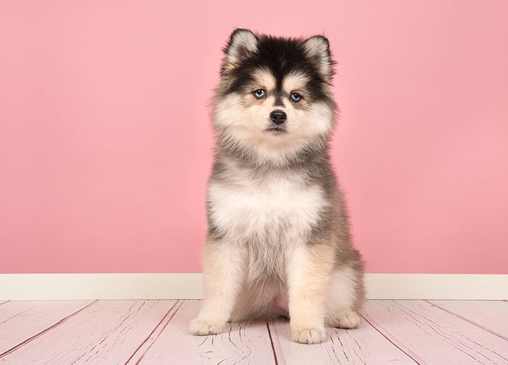 mixed dog breeds Pomsky
