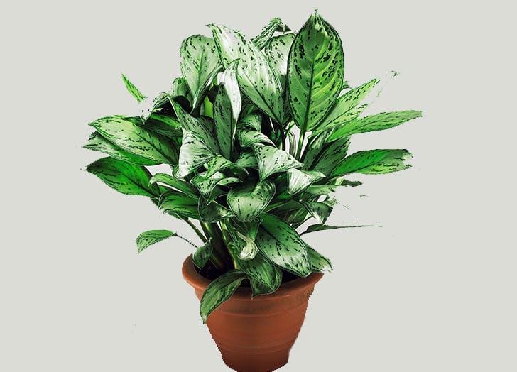 easy houseplants chinese evergreen