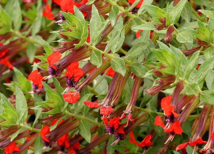 flowers that attract hummingbirds butterflies cuphea