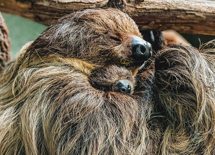 Name That Sloth! No, Seriously, You Can Name the Virginia Zoo's New Baby Sloth