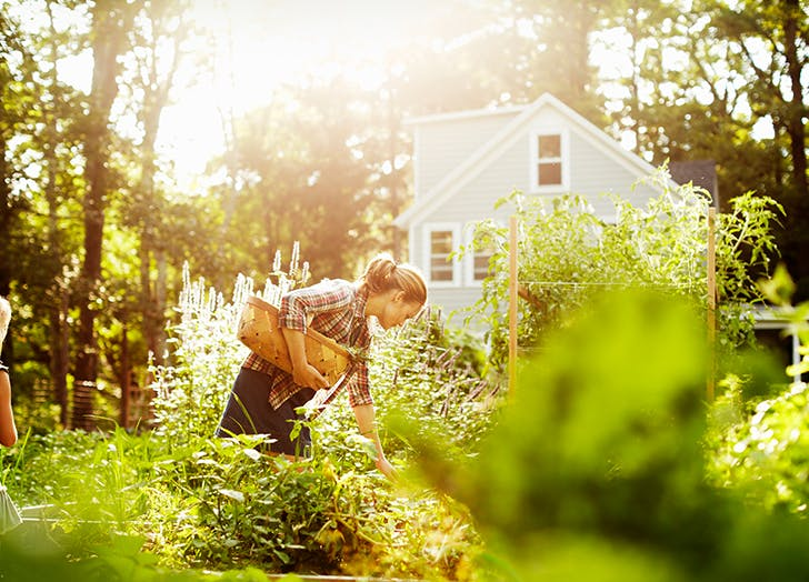 woman picking vegetables in garden