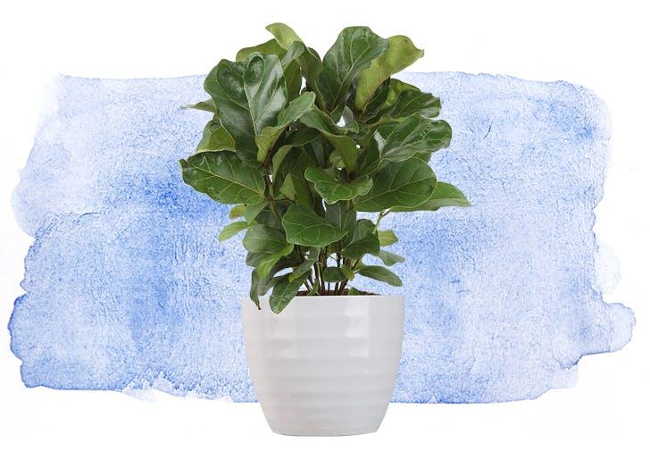 self care fiddle leaf fig
