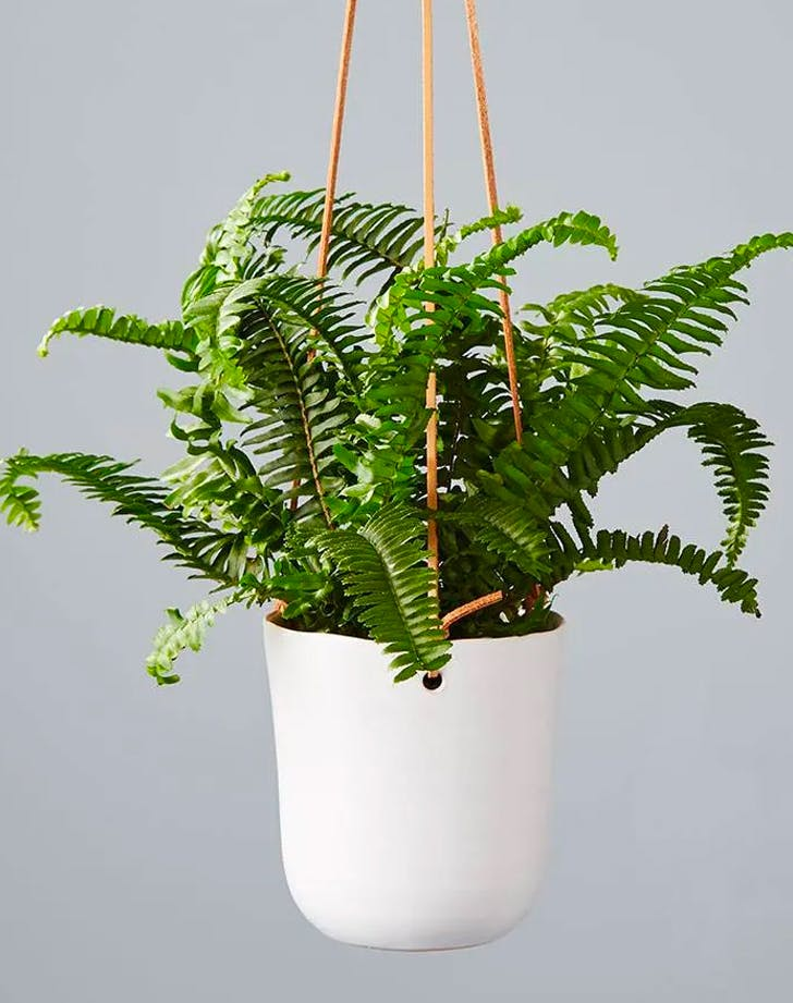 plants safe for dogs boston fern