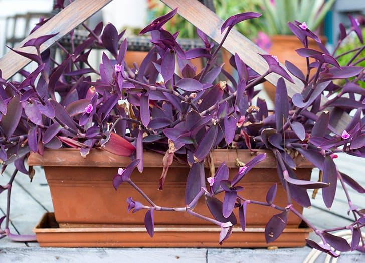 Purple Heart fast growing plants