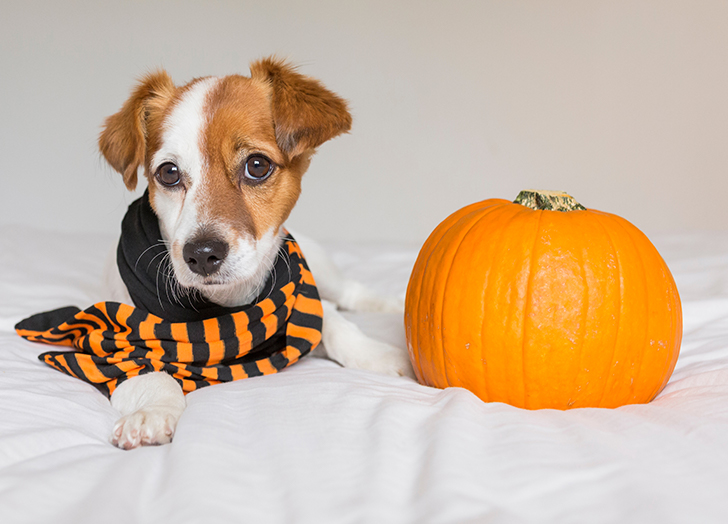 pumpkin filling for dogs