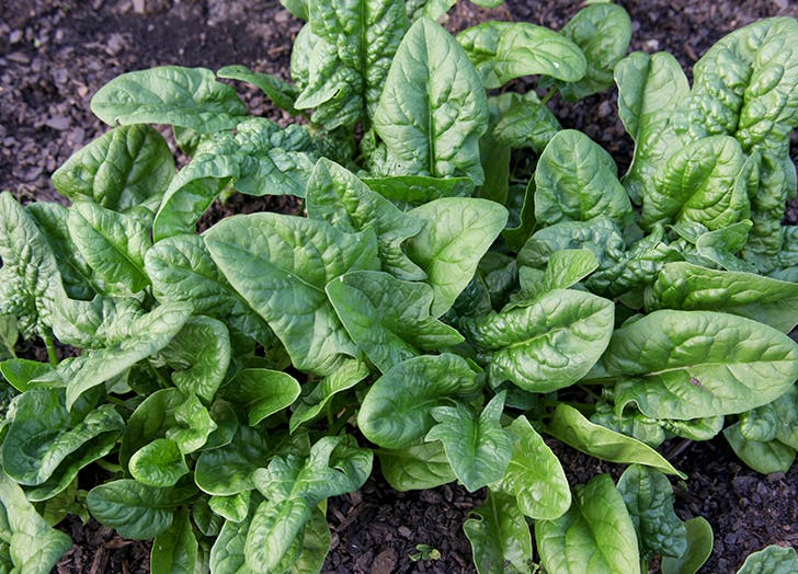 spinach fal vegetables