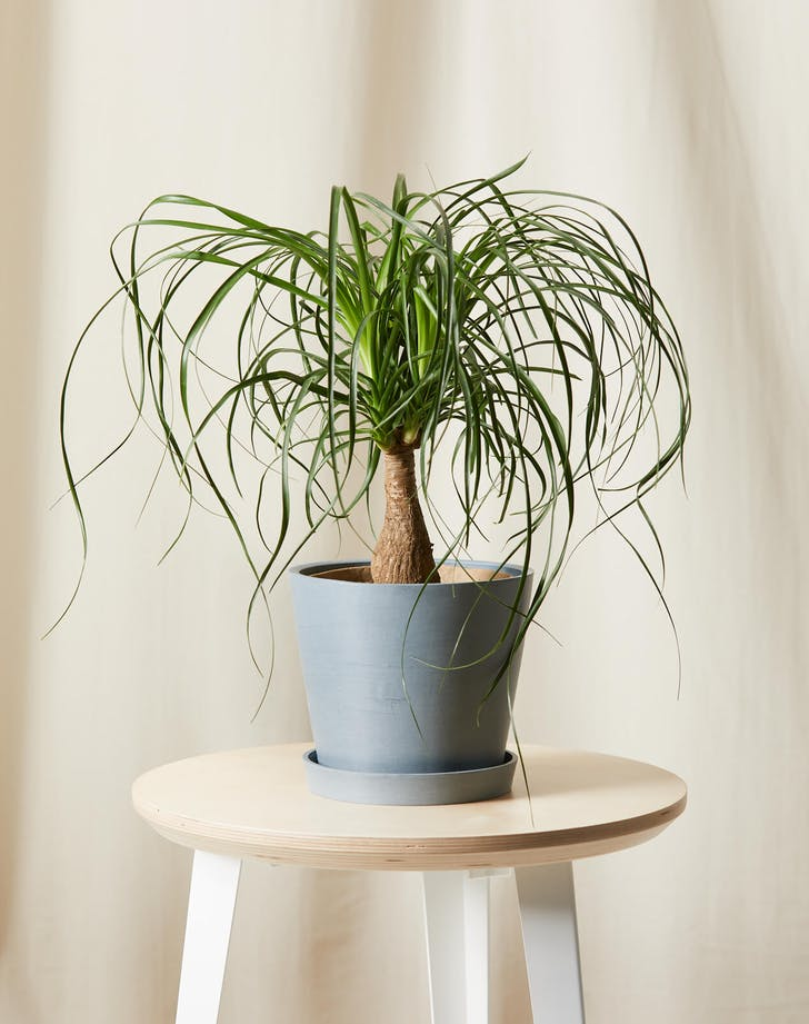 cat friendly plants ponytail palm
