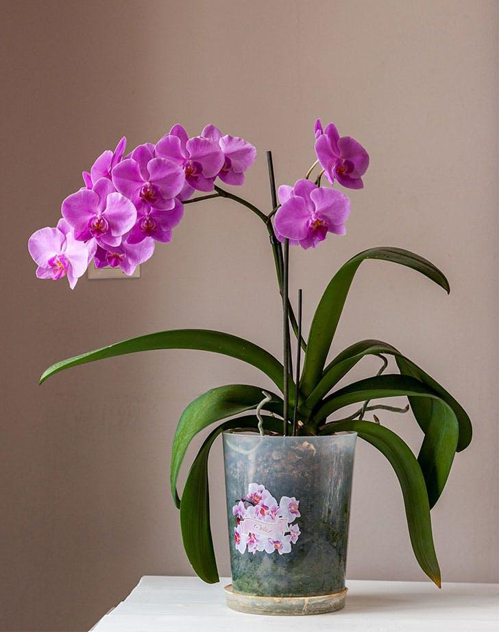 flowering houseplants moth orchid
