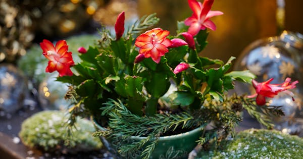 How to Care for a Christmas Cactus (Because Those Blooms Will Get You Through Winter)