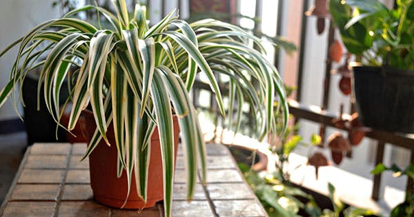 4 Spider Plant Benefits (Plus, How to Make Sure They Thrive)