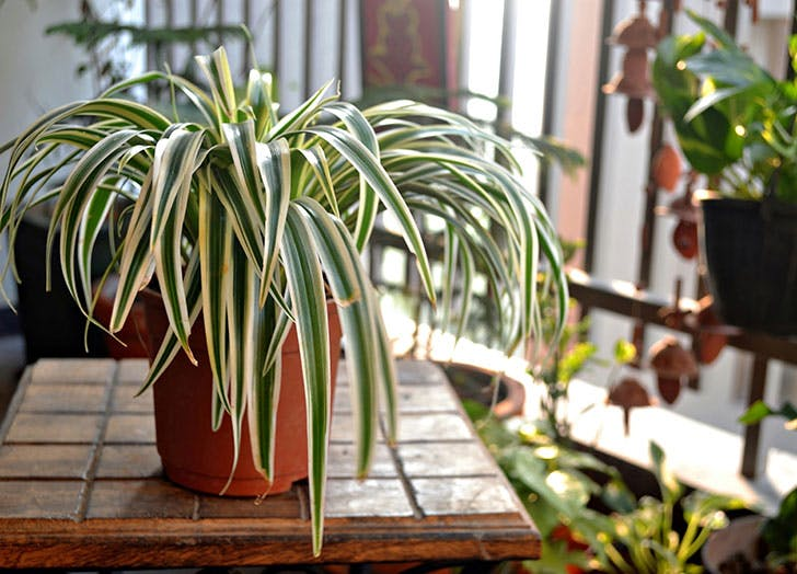 spider plant benefits