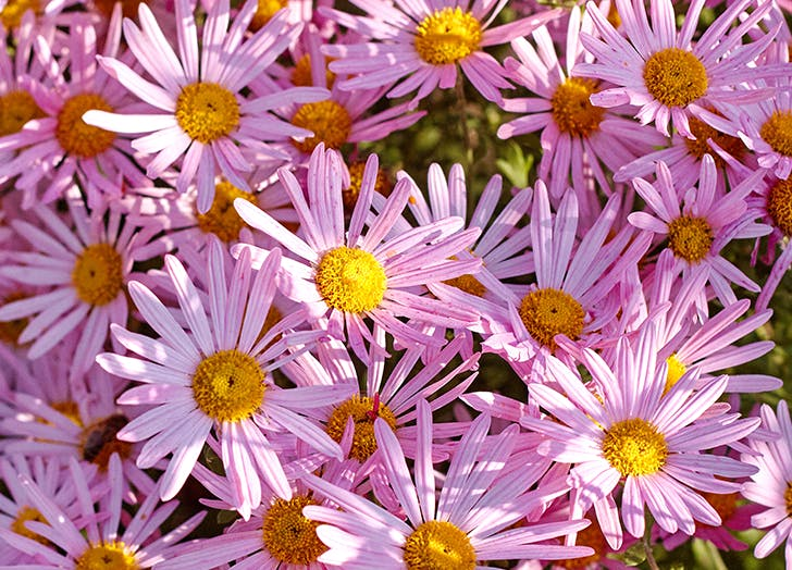 aster flowers and their meanings