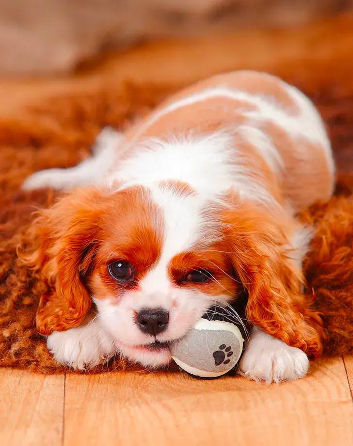 calm dog breeds cavalier king charles spaniel