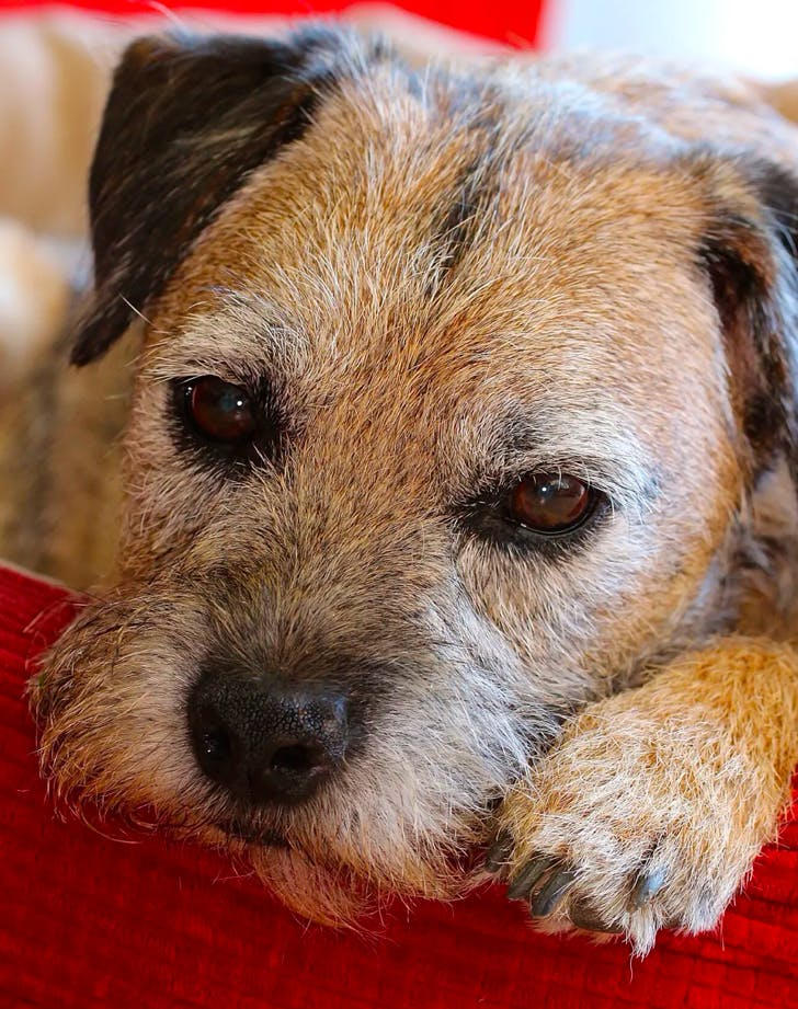 low maintenance dog breeds border terrier