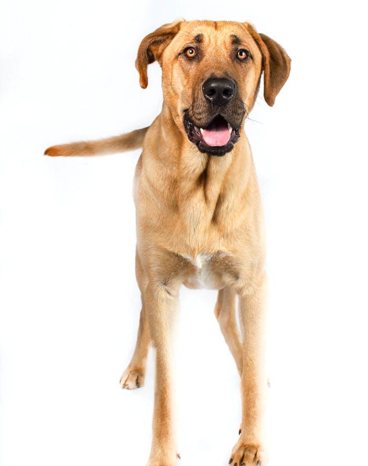 low maintenance dog breeds broholmer