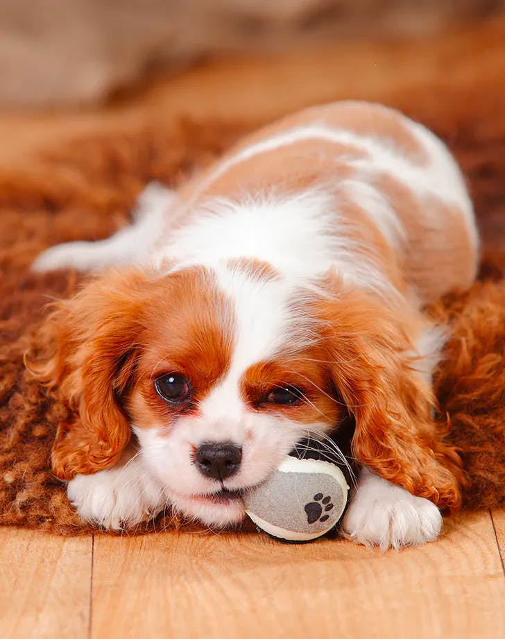 low maintenance dog breeds cavailer king charles