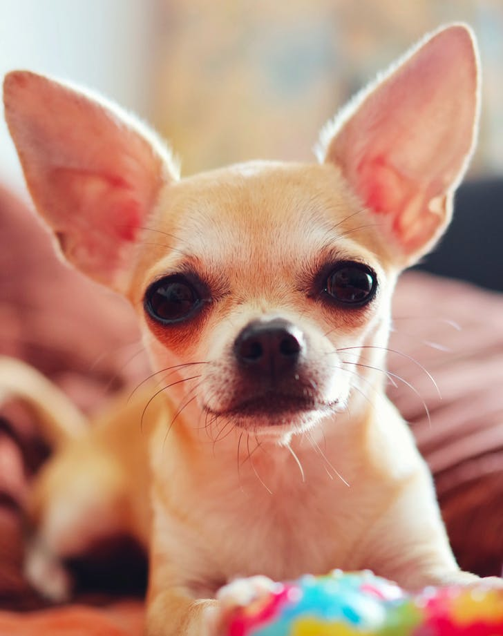 low maintenance dog breeds chihuahua