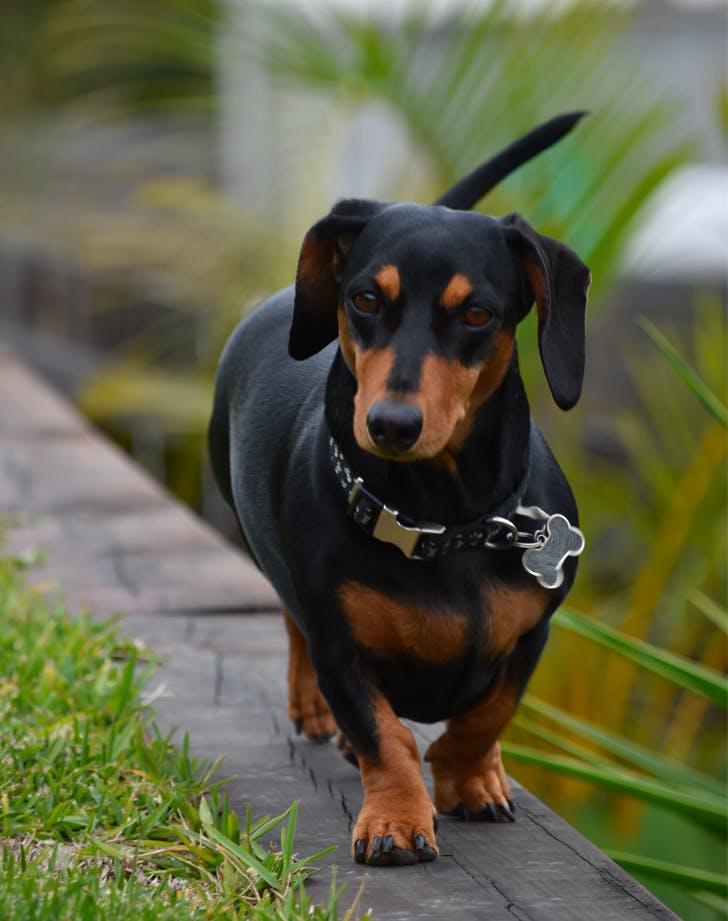 low maintenance dog breeds dachshund
