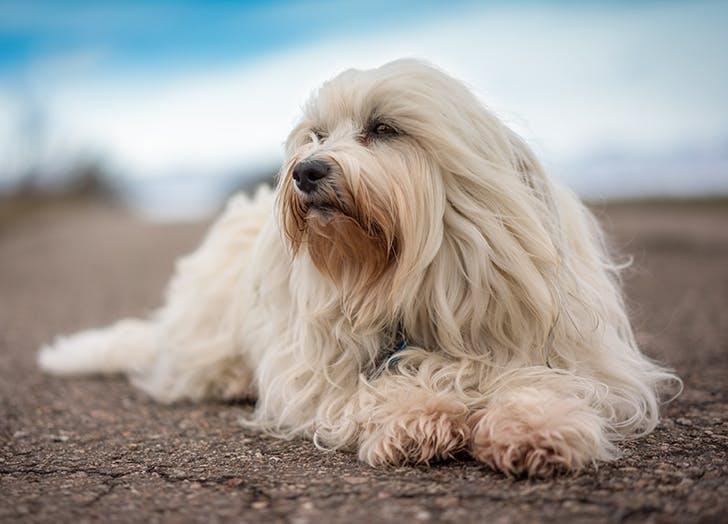 low maintenance dog breeds havanese