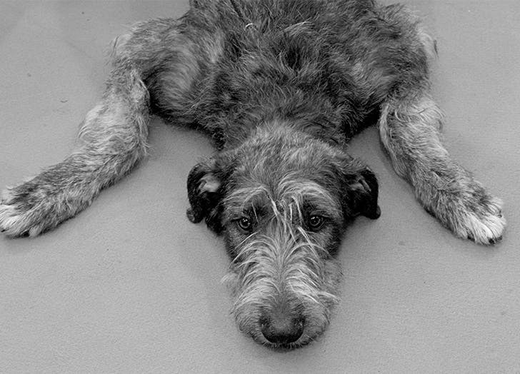 low maintenance dog breeds irish wolfhound