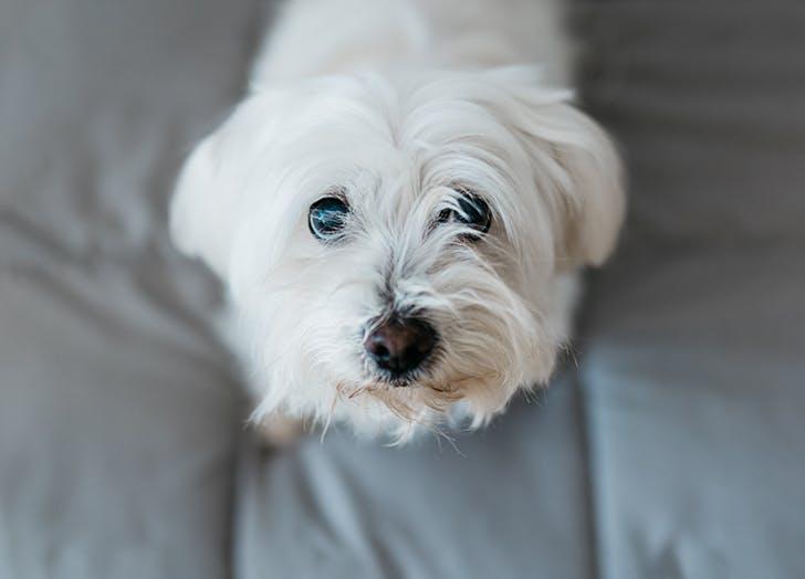low maintenance dog breeds maltese