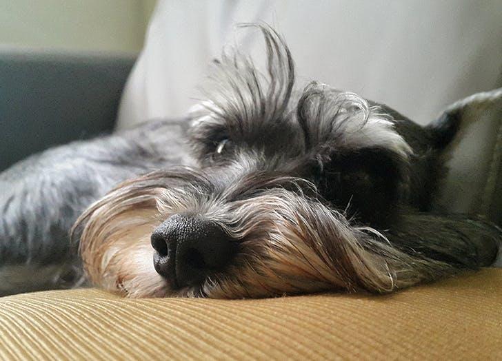 low maintenance dog breeds miniature schnauzer