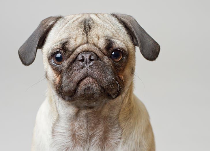 low maintenance dog breeds pug
