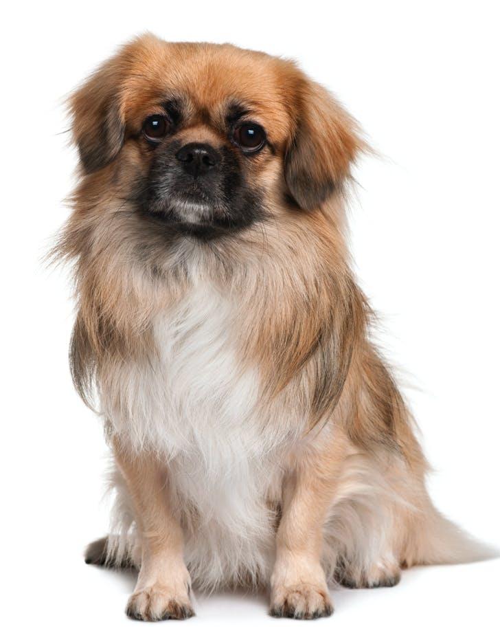 low maintenance dog breeds tibetan spaniel