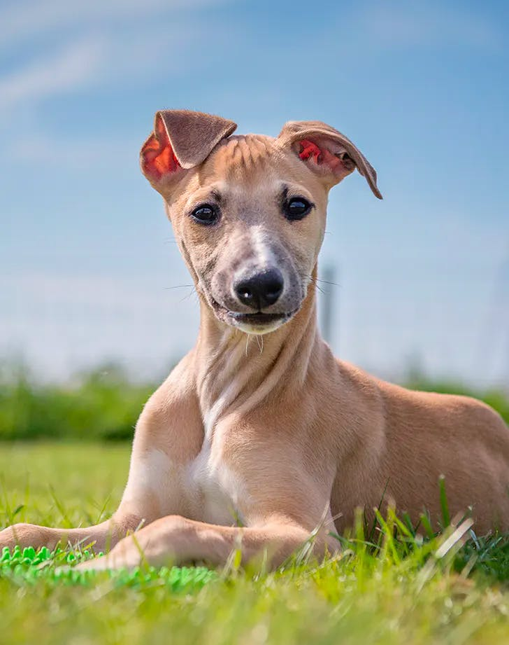 low maintenance dog breeds whippet