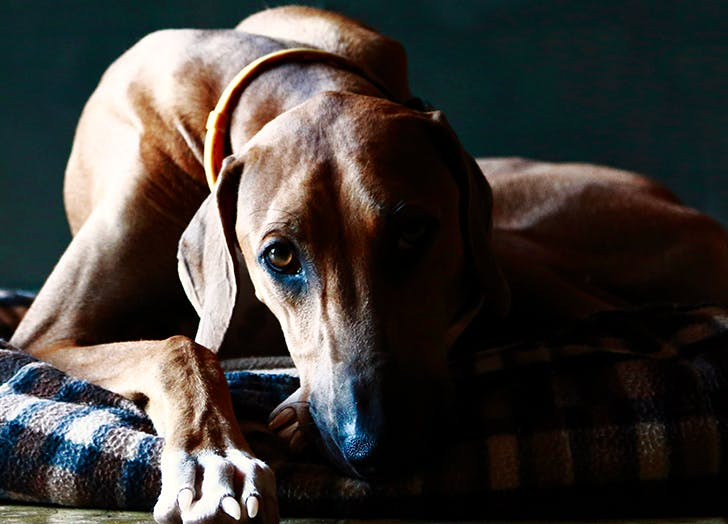 rare dog breeds Azawakh